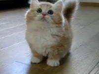 Фото кошки манчкин