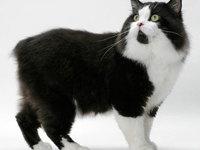 Кошка кимрик: фото, описание породы