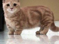 Коротконогие кошки манчкин: фото, описание породы