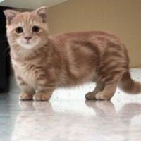коротконогие кошки манчкин