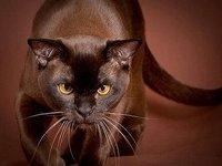 Европейская бурманская кошка: фото, описание породы