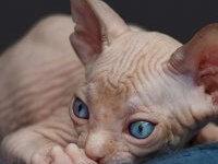 Кошка сфинкс — ее виды