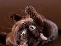 Котята породы бурма: фото, описание породы
