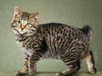 Кошка курильский бобтейл: фото, описание породы