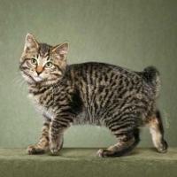 порода кошек бобтейл фото