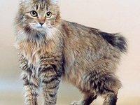 Размеры и вес кота курильского бобтейла