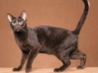 Порода кошек гавана: фото, описание породы