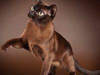 Бурманская кошка — фото, описание породы и характера