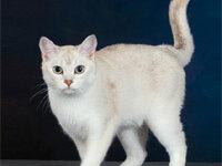 Кошка бурмилла: фото, описание породы