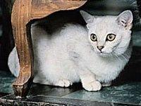 Бурмилла короткошерстная: фото, описание породы