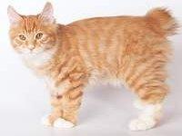 Немного о кошках породы курильский бобтейл