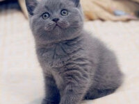 Как назвать британскую кошку девочку — 3700 имен