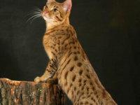 Кошка Канаани — Хаанани