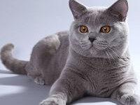 Описание породы британской кошки