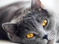 Основные сведения о кошке британской породы