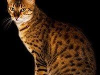 Египетская мау: фото, описание породы