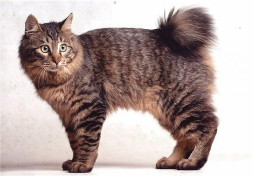 фото кот породы бобтейл фото