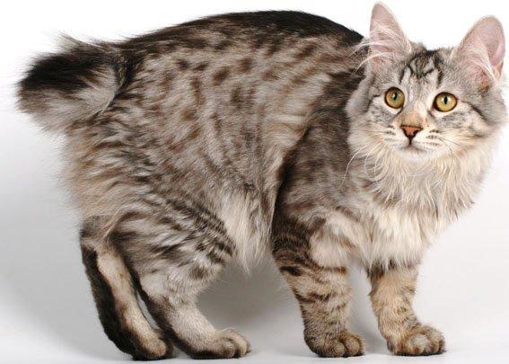 Бобтейл кот или кошка