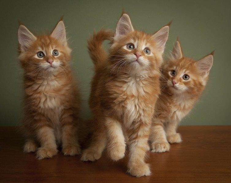 Что едят коты мейн куны