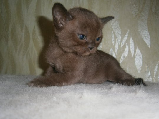 Котята бурмы