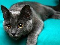 Кошка корат — фото, описание породы