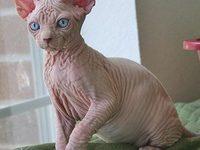 Описание породы кошки Сфинкс