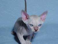 Фото котят корниш рексов: описание породы
