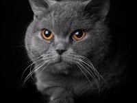 Британская короткошерстная кошка: описание породы, фото