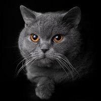 кошка британская короткошерстная