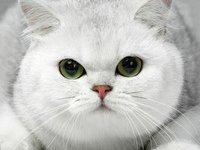 Кошка британская шиншилла: фото, описание породы