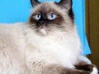 Гималайский кот — фото, описание породы