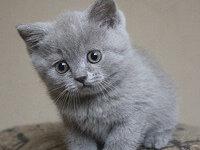 Как назвать котенка мальчика британца?