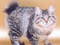 Чем кормить котенка — курильского бобтейла?
