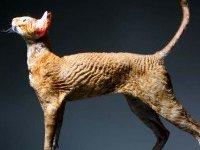 Корниш рекс — описание породы, фото