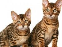 Фото калифорнийской сияющей кошки