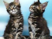 Чем кормить котенка мейн куна?