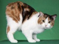 Кошка мэнкс: фото, описание породы