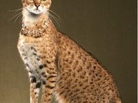 Описание породы кошек саванна с фото