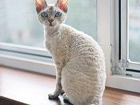 Кошка немецкий рекс: фото, описание породы
