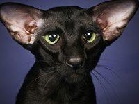 Характер ориентальной кошки