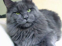 Мейн кун — серый окрас, фото