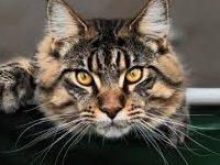 Порода кошек мейн кун: фото, описание породы