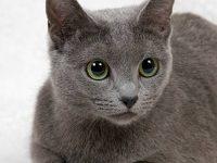 Какой характер у русской голубой кошки?