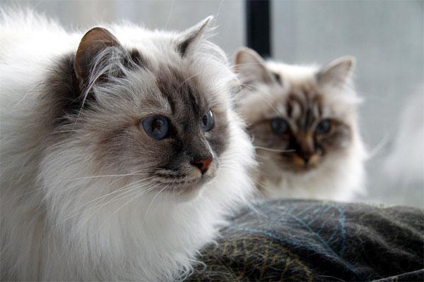 кошка породы бирманская фото