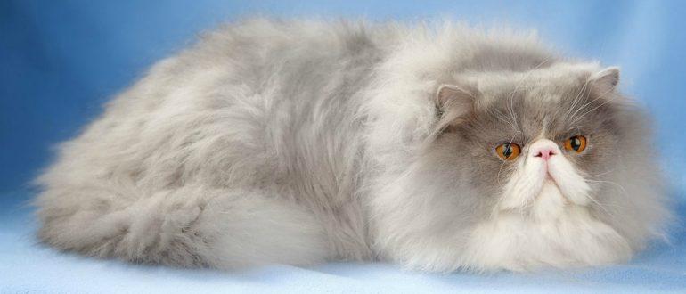 Сколько живут персидские кошки в домашних условиях 267