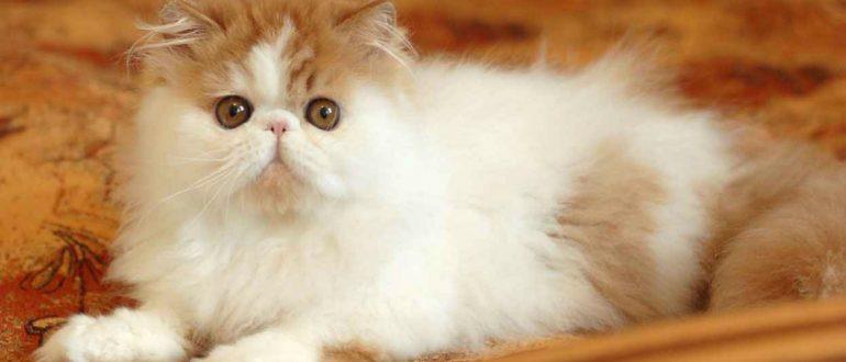 Сколько живут персидские кошки в домашних условиях 842