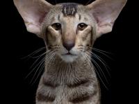 Ориентальная кошка — описание породы