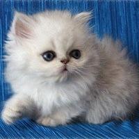 как ухаживать за персидским котенком