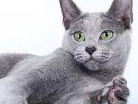 Русская голубая кошка — описание породы