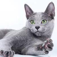 кошка русская голубая описание породы